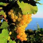 Uva bianca eoliana - Salina